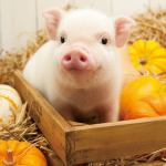 Всё о Жёлтой Земляной Свинье – символе 2019 года